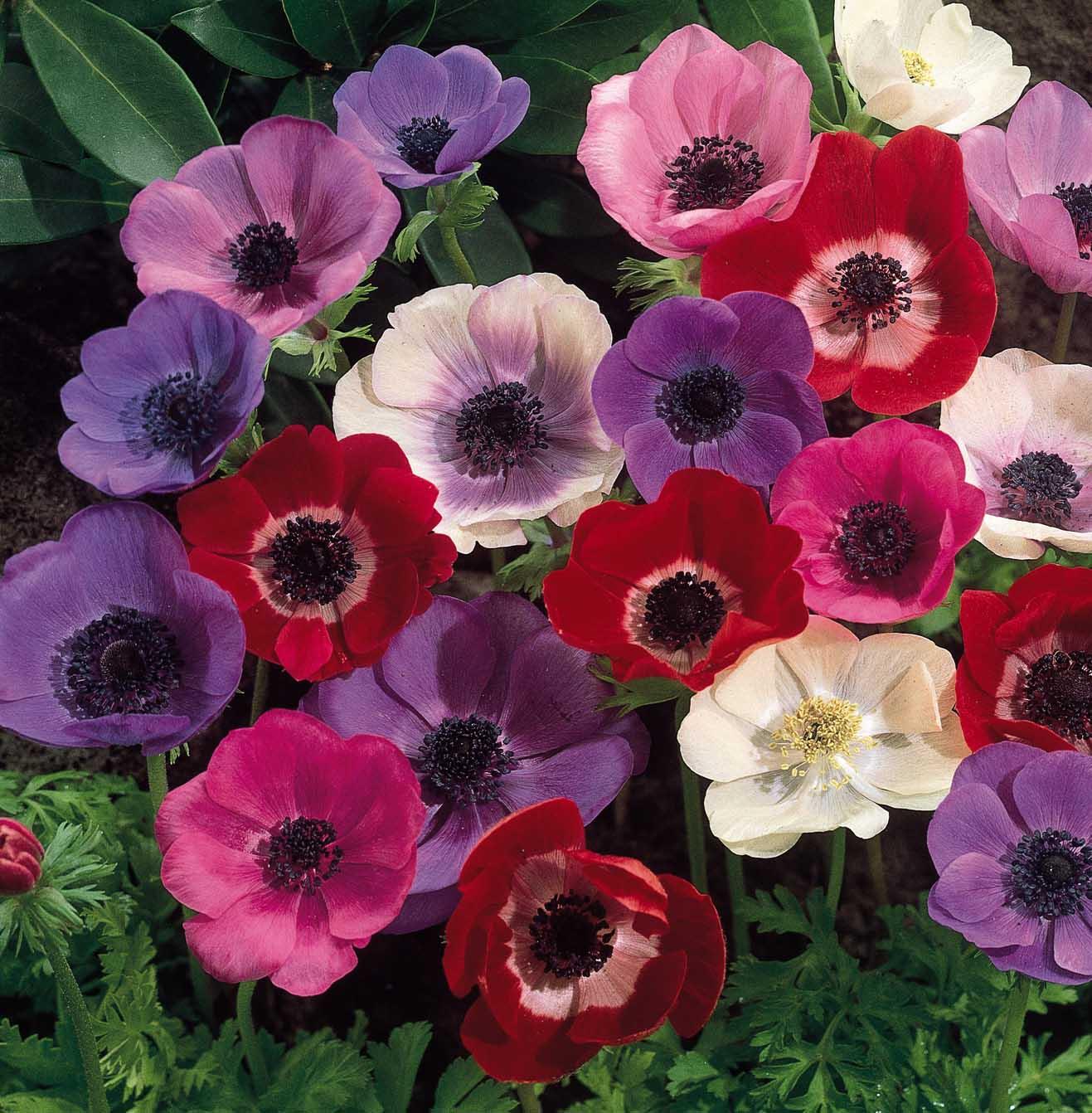 anemones-mixed